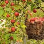 apple_harvest_petin-150x150