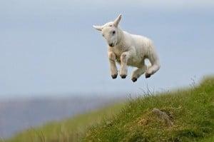 lamb01